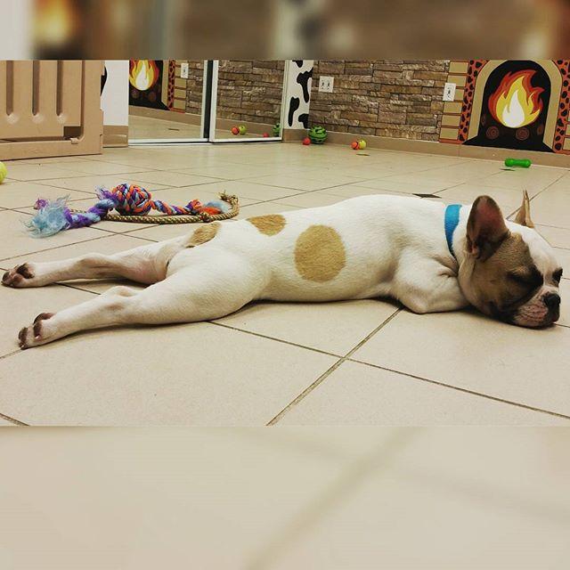 Instagram - Cuisses de grenouilles! Bianka #frenchbulldog @doggievip #dogdaycare