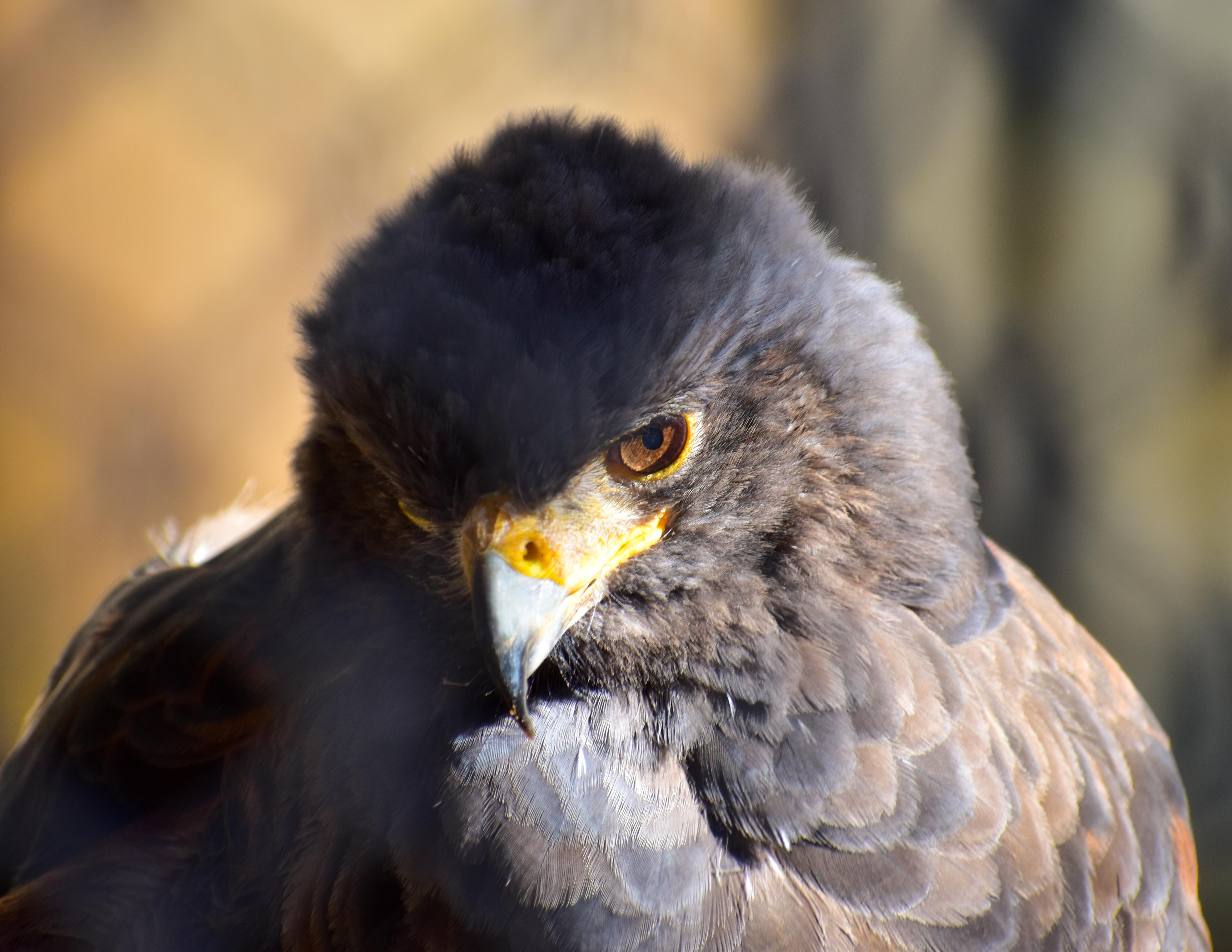 Hawk By Liam (Age 12)