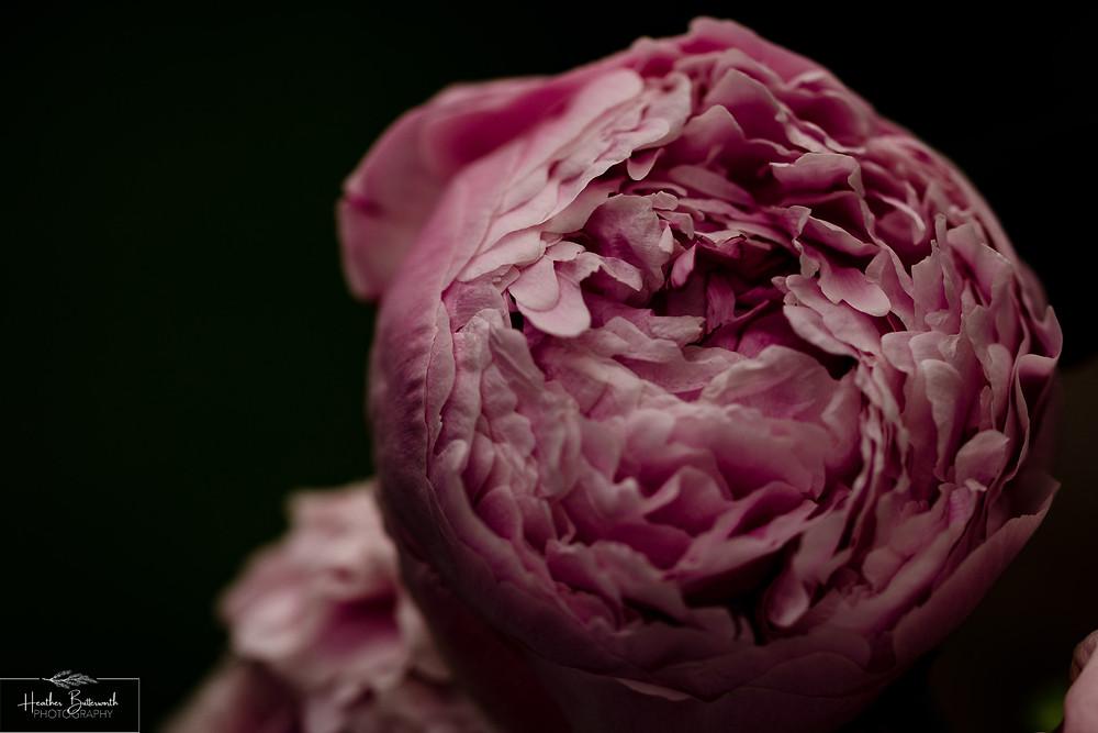 pink peony close up macro photography