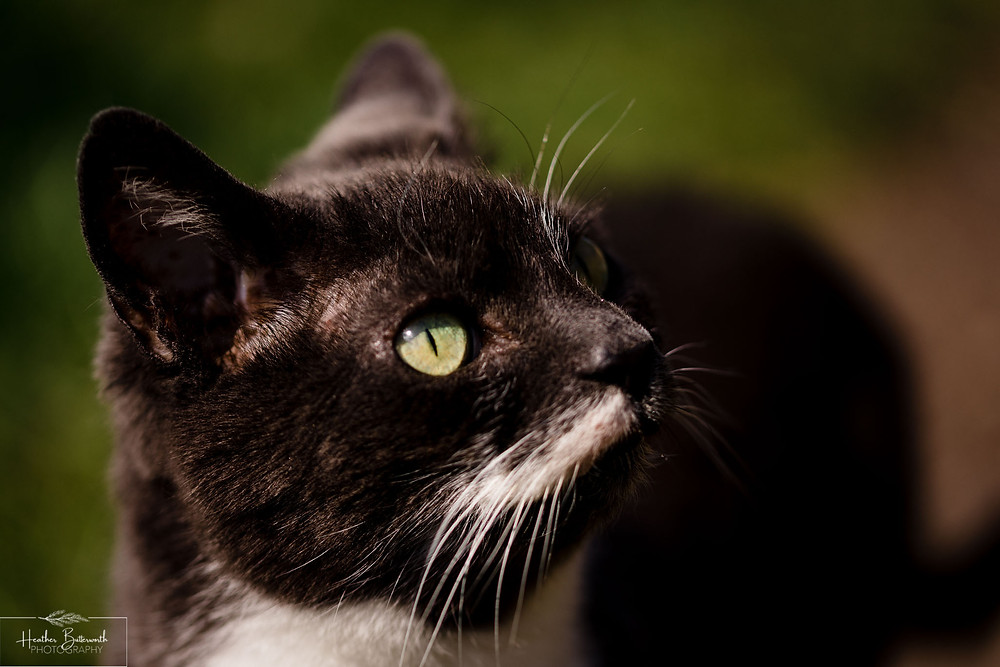 a grey cat with green eyes white chest and moustache