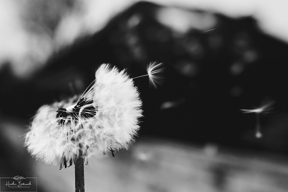 More dandelions blowing in the wind in Leeds, Yorkshire. Image by Heather Butterworth Photography