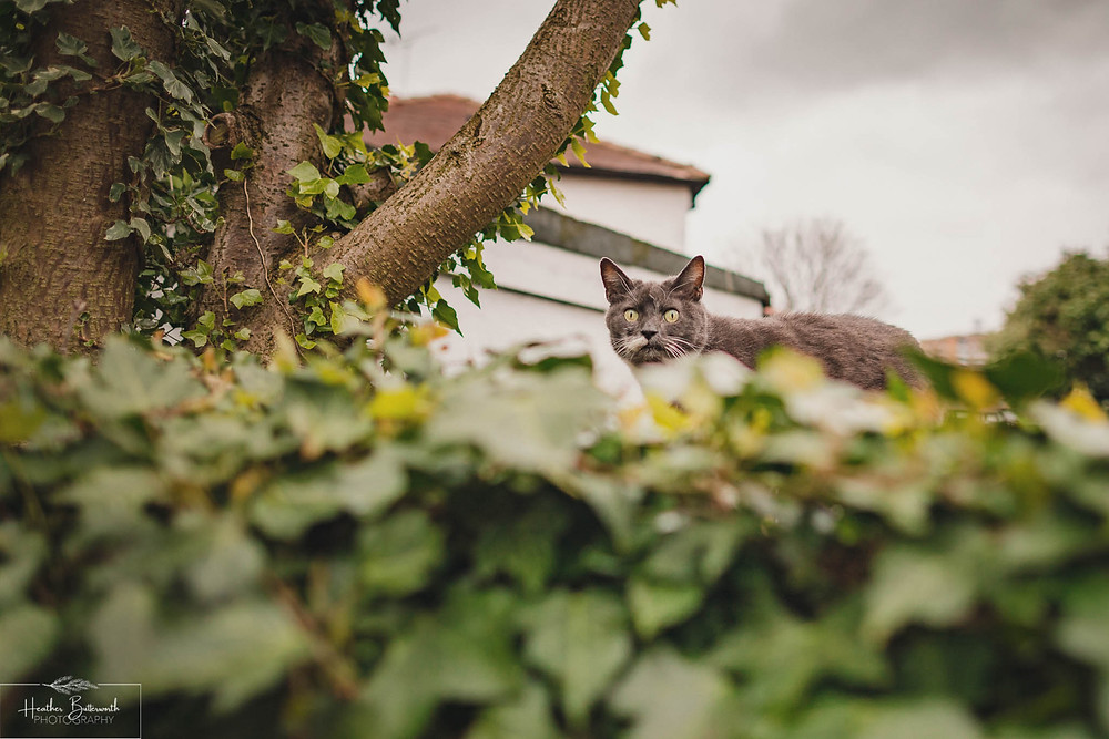 grey cat sat on a fence looking over at the camera with ivy in the foreground