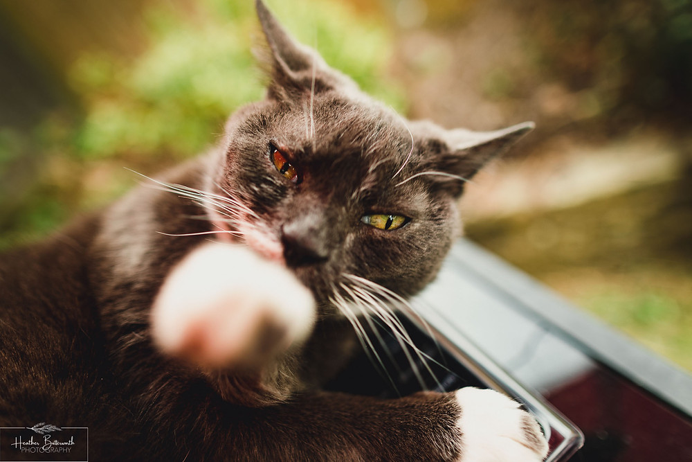 a close up of a grey cat washing it's paw