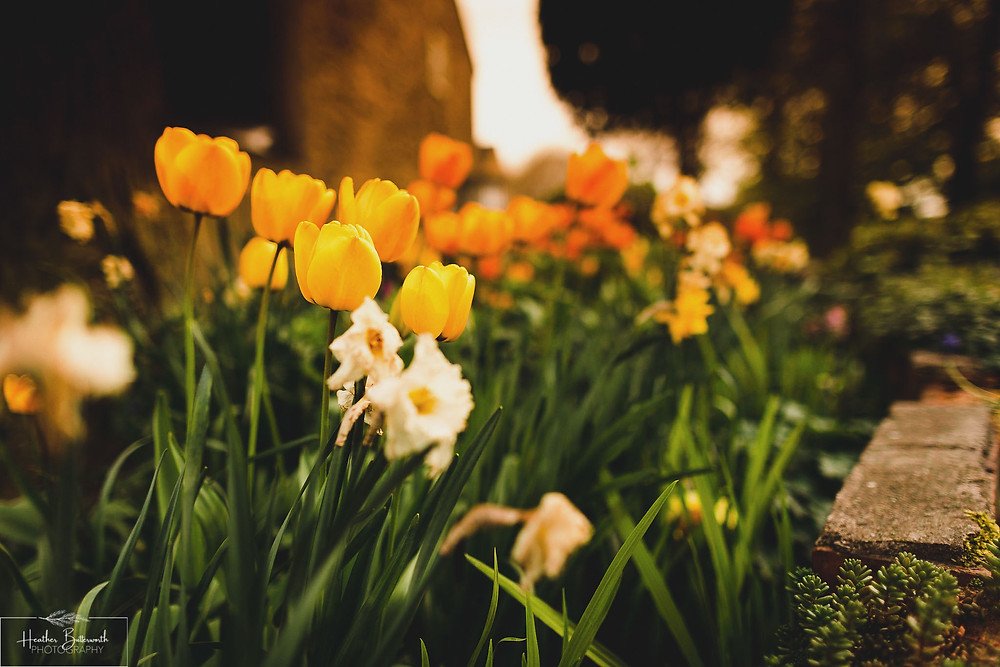 Garden Tulips in Leeds, Yorkshire. Image by Heather Butterworth Photography