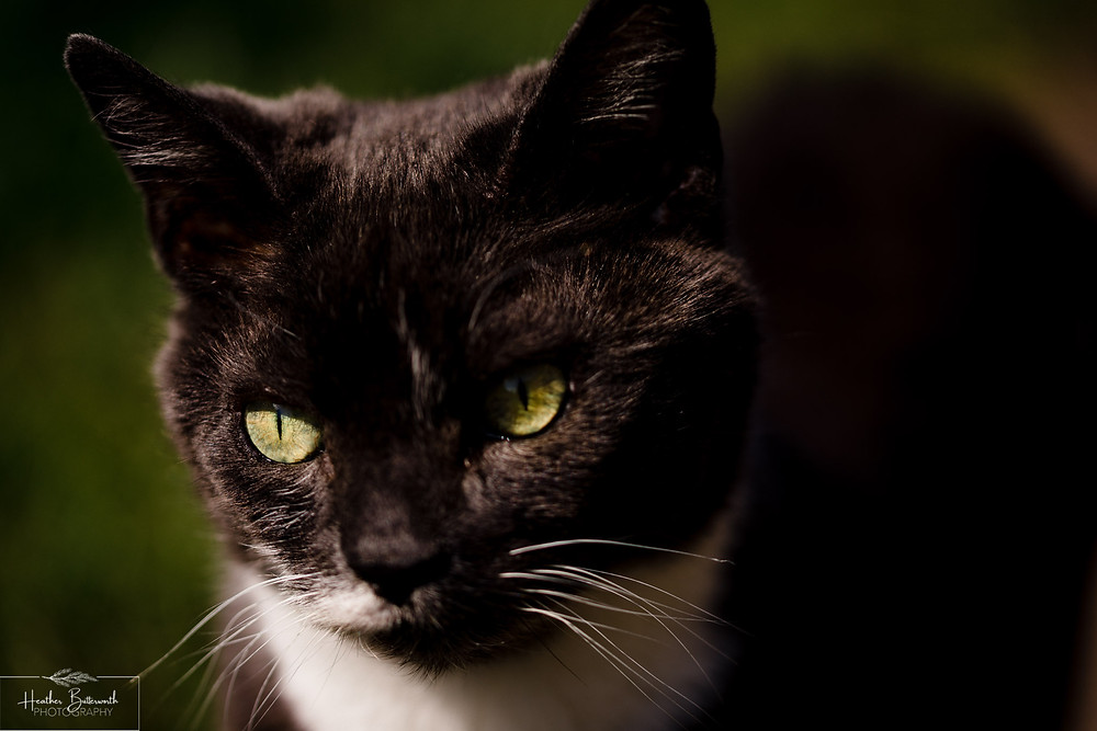 a dark grey cat with green eyes and half white moustache and white chest