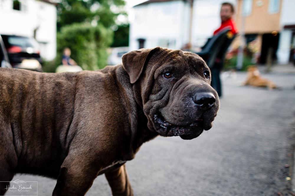 a brown bull dog looking at the camera and walking