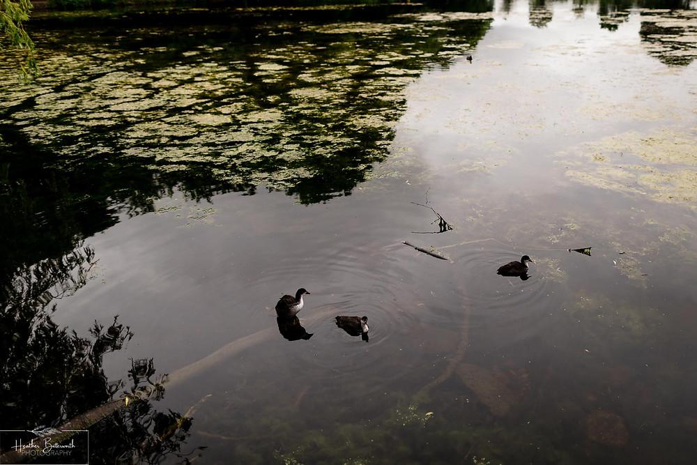 birds in roundhay park lake