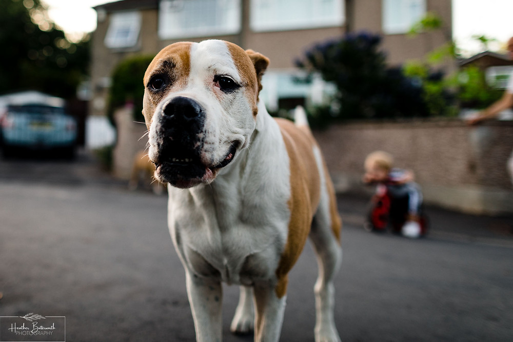 a bull dog looking at the camera