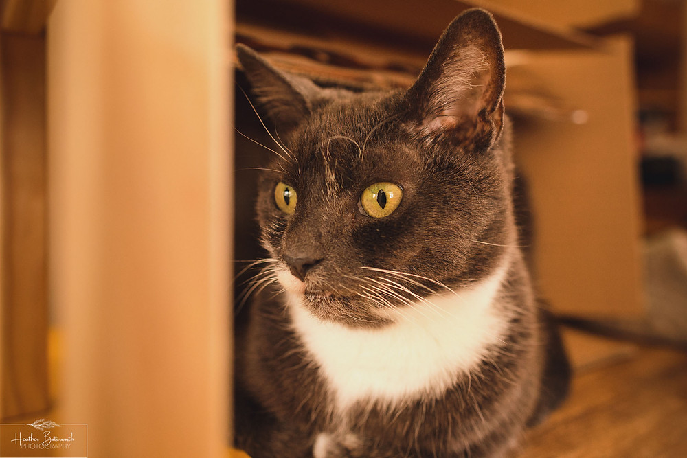 grey cat with green eyes and white chest looking to his right