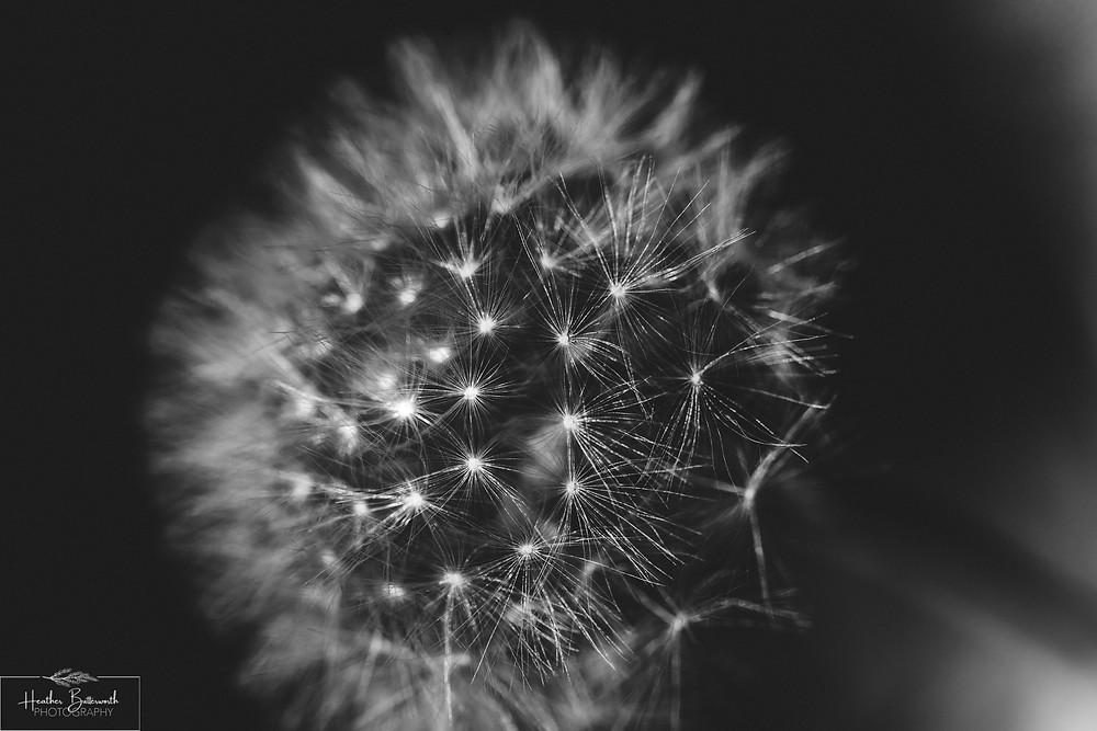 dandelion clock tulip macro flower photography taken in Leeds Yorkshire 2020 during lockdown by photographer Heather Butterworth