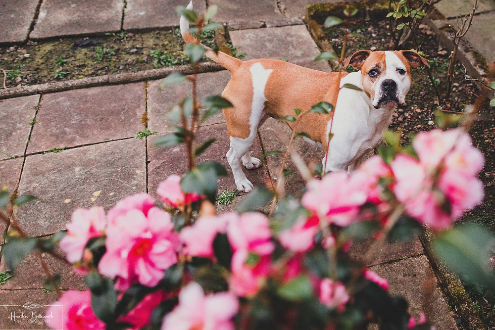 a bull dog looking up at the camera from behind a bush with pink flowers on it