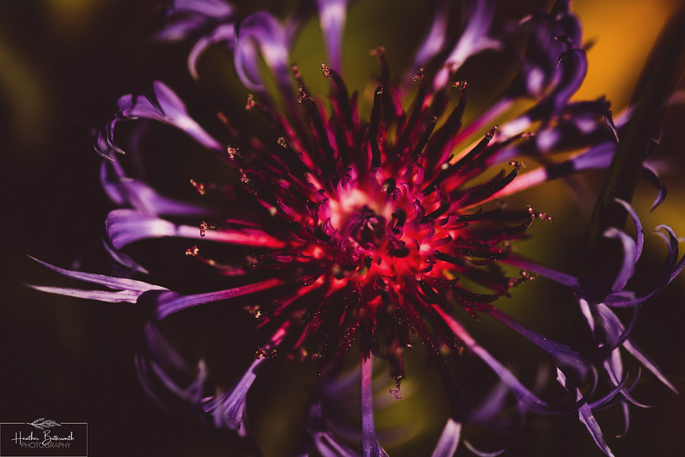 macro flower photography taken in Leeds Yorkshire 202 during lockdown by photographer Heather Butterworth