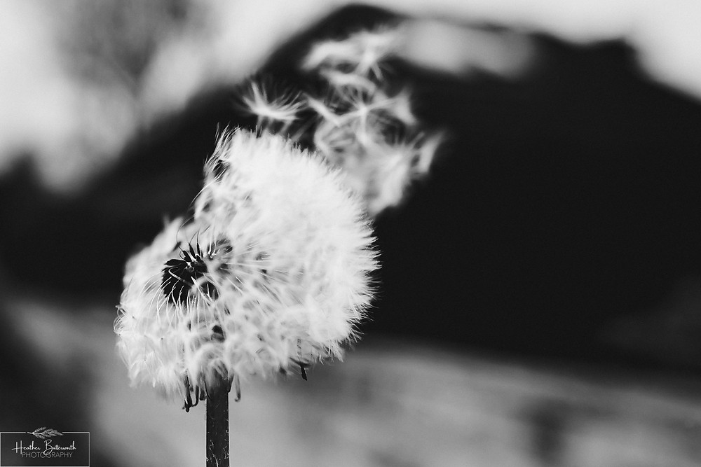 Dandelion blowing in the wind in Leeds, Yorkshire. Image by Heather Butterworth Photography