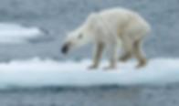 polar-bears.webp