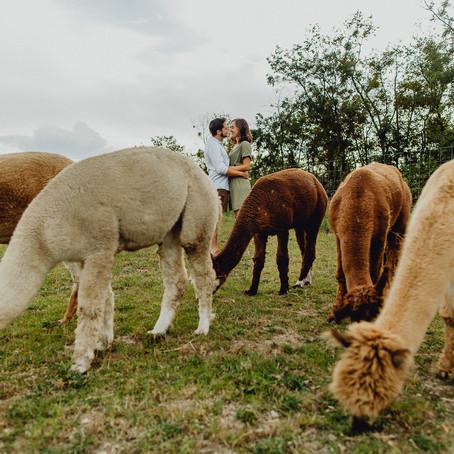 Engagementshooting mit Alpakas auf dem Bauernhof