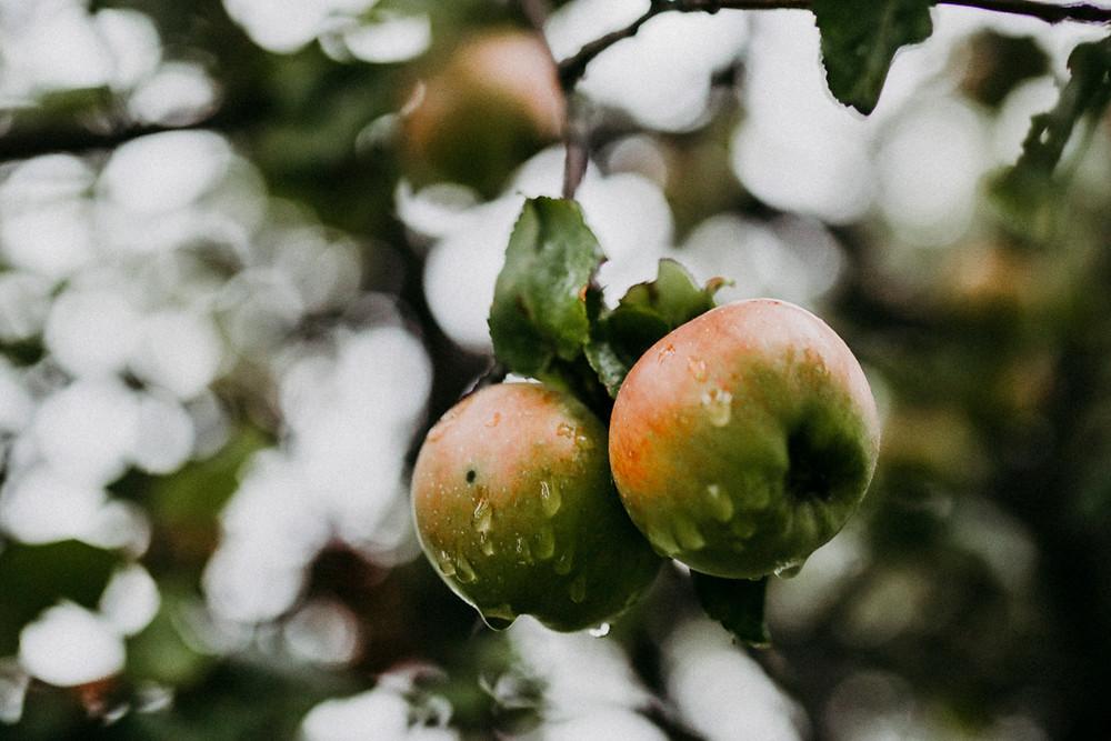 verregneter Apfelbaum