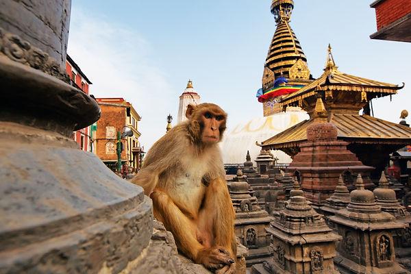 Moneky in Nepal.