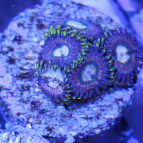 Joe's Crab Nebula Zoa
