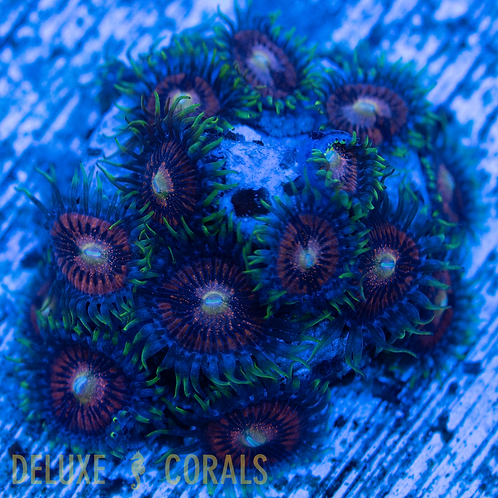 CB Disco Inferno Zoa