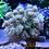 Thumbnail: Aussie Toxic Petals Goniopora