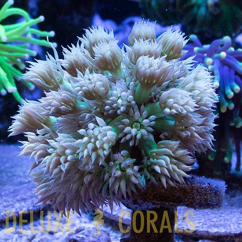 Aussie Toxic Petals Goniopora