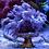 Thumbnail: Aussie Blue Goniopora