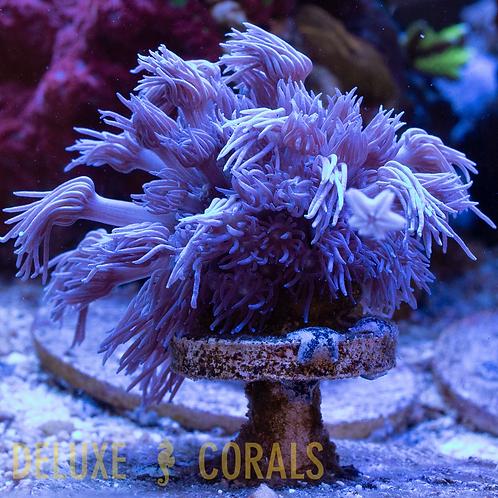 Aussie Blue Goniopora