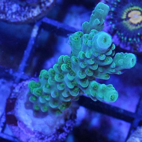 Green Bali Slimer Acropora