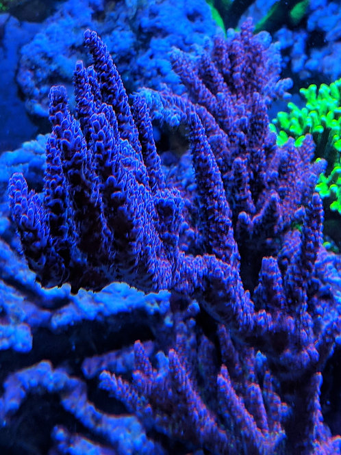 Red Planet Acropora Colony