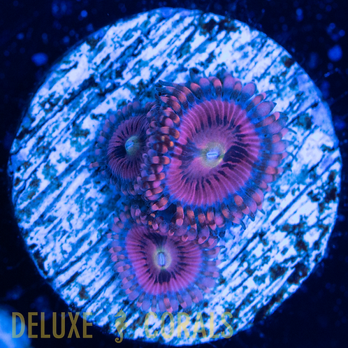 Pink Panther Zoa