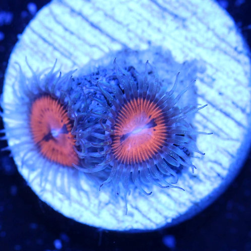 Pulpy Orange Zoa