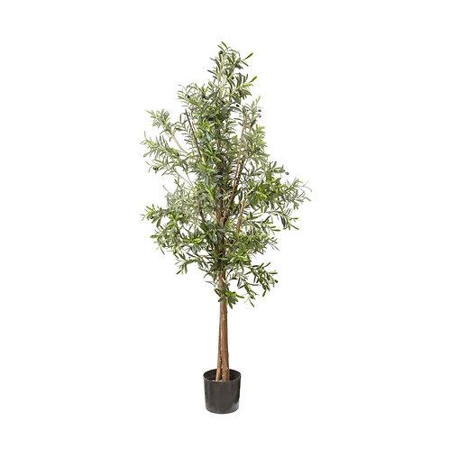 Olive Tree, 170cm