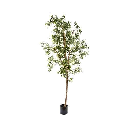 Olive Tree, 240cm