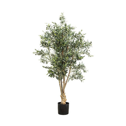 Olive Tree, Knotted Trunk, 150cm