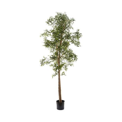 Olive Tree, 200cm