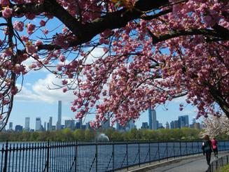 Le Cherry Blossom à New York