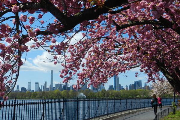 Cherry blossom Jackie Kennedy Reservoir, Central Park