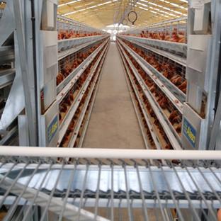 Alaso Egg Cross Conveyor