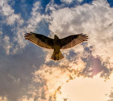 buzzard-3743247_1920.jpg