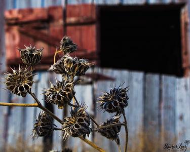 Buttonweed Barn.jpg
