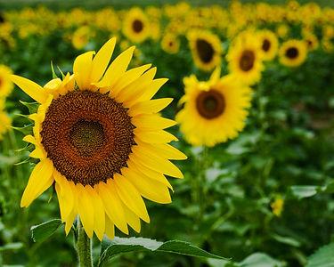 vast sunflowers.jpg