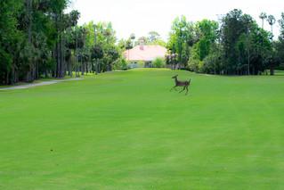 Pracing Deer.jpg