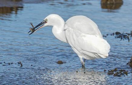 'Egrets Lunch' by Allistair Gordon
