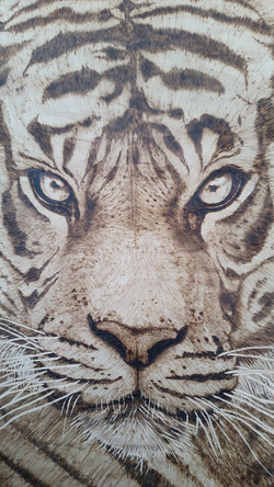 """Sophie"" bengal tiger"