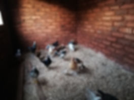 Kongwa - Chickens.jpg