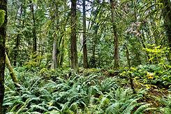 bcforest.jpg