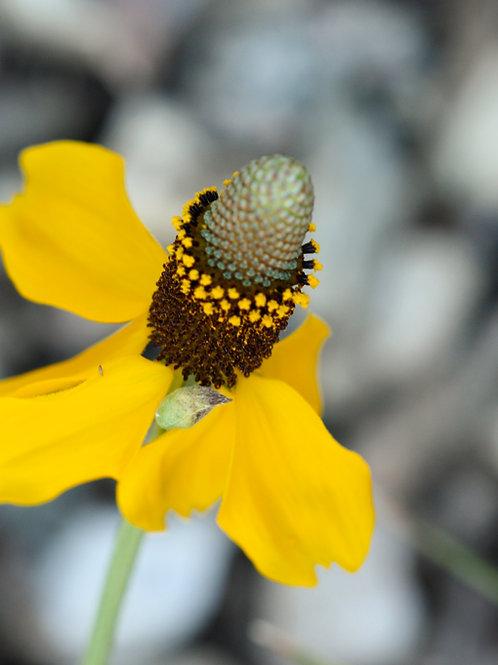 """A Prairie Coneflower (8""""x10"""" photograph)"""