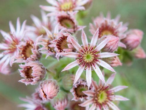 """Pink Pollen 2 (8""""x10"""" photograph)"""