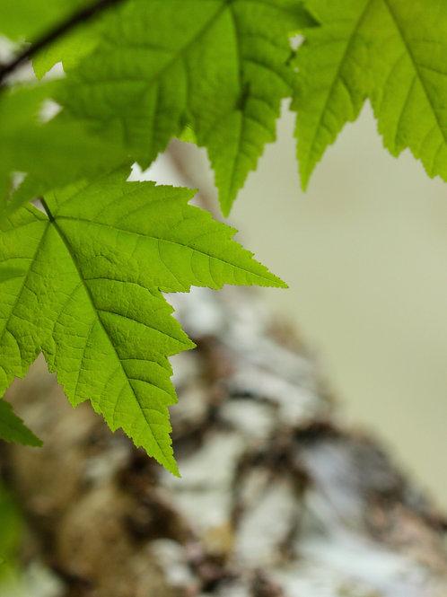 "Leaf Patterns (8""x10"" photograph)"