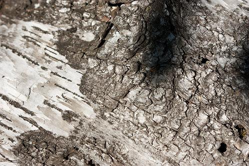 """Birch Bark 1 (8""""x12"""" photograph)"""